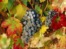 Harvest_Time_La_Rioja_Spain_1440x1080
